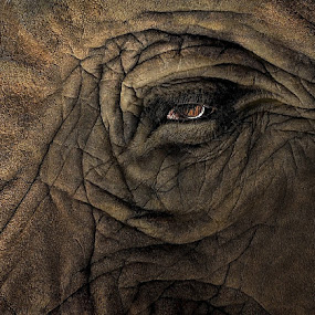 elephant 0288 by Patrick Hayes - Animals Other Mammals ( pittsburgh, elephant, patrick hayes, brown, close up, eye )