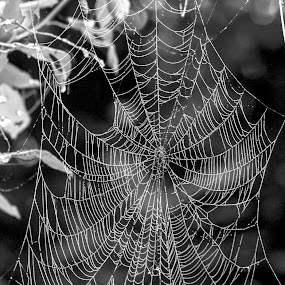 Monsoon Web by Akash Deep - Nature Up Close Webs ( web with dew drop, web, spider web with droplets, monsoon web, spider web with dew )