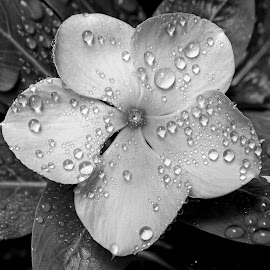 Flower  by Asif Bora - Black & White Flowers & Plants