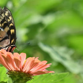 Butterfly on Flower  by Lorraine D.  Heaney - Animals Insects & Spiders