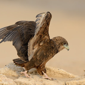 Juvenile Bateleur by Tobie Oosthuizen - Animals Birds ( bird of prey, raptor, kgalagadi, juvenile, bateleur )