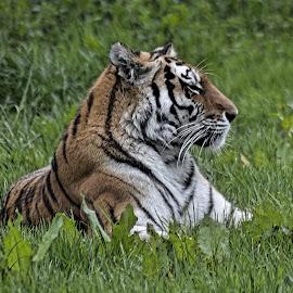 tiger by Karen Goeman - Animals Lions, Tigers & Big Cats ( big cat, wild, tiger )