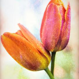 Two by Nancy Merolle - Digital Art Things ( love, orange, two, pink, tulips, spring )