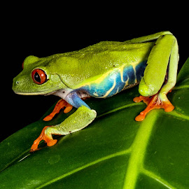 Tree frog by Garry Chisholm - Animals Amphibians ( garry chisholm, nature, tree frog, amphibian, wildlife )