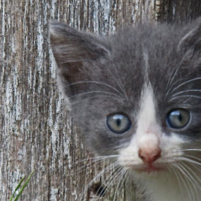 Grey and White Kitten by Daryl Peck - Novices Only Pets ( pose, cat, kitten, novice, pet, stare, grey, animal )
