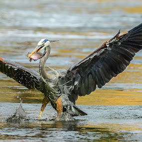 Great Blue Heron by Danny Robbins - Animals Birds ( animal, motion, animals in motion, pwc76 )