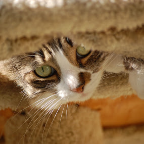 Peek-a-Boo! by Katie Ehrlich - Animals - Cats Portraits ( cat, pwcmovinganimals, cute, kitty )