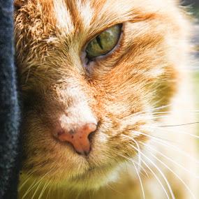 Poocha by Lena DeStefano - Animals - Cats Portraits