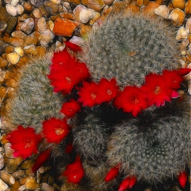 Blooming Cactus by Nancy Bowen - Novices Only Flowers & Plants ( red, cactus flower, rocks, cactus )