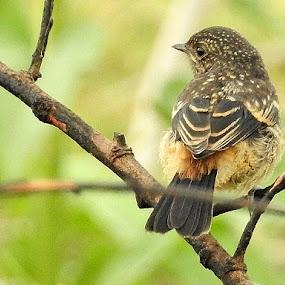 Pied bushchat by Govindarajan Raghavan - Animals Birds (  )