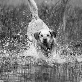 by Kelly Willmott - Animals - Dogs Running