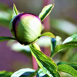 by Donna Van Horn - Flowers Flower Buds (  )