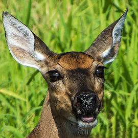 Surprised Doe by Joe Saladino - Animals Other Mammals ( doe, animal, deer )