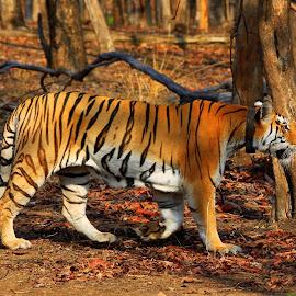Tiger by Soham Chakraborty - Animals Lions, Tigers & Big Cats