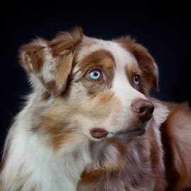 Cody by Morgan Baumgartner - Animals - Dogs Portraits ( australian shepherds, dog, aussie, canine portraits )