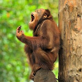 Orangutan by Tomasz Budziak - Animals Other Mammals ( mammals, orangutan, animals )