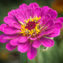 by Ken Mickel - Flowers Single Flower ( zinnia, nature, debth of field, plants, gardens, flowers, garden, close up, bokeh, floral, flower, photography )