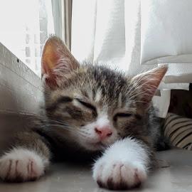 Fido sleeping by Kim Mesorten - Animals - Cats Kittens ( cat, sleeping )
