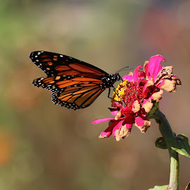 Monarch in autumn by Robin Rawlings Wechsler - Animals Insects & Spiders ( monarch butterfly, butterfly, monarch )