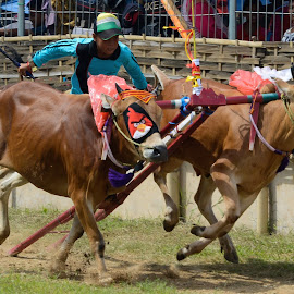 Karapan Sapi from Madura, Indonesia by Dot-dee Aryanto - Novices Only Sports ( indonesian, indonesia tourism, racing, tradition, bull, race )