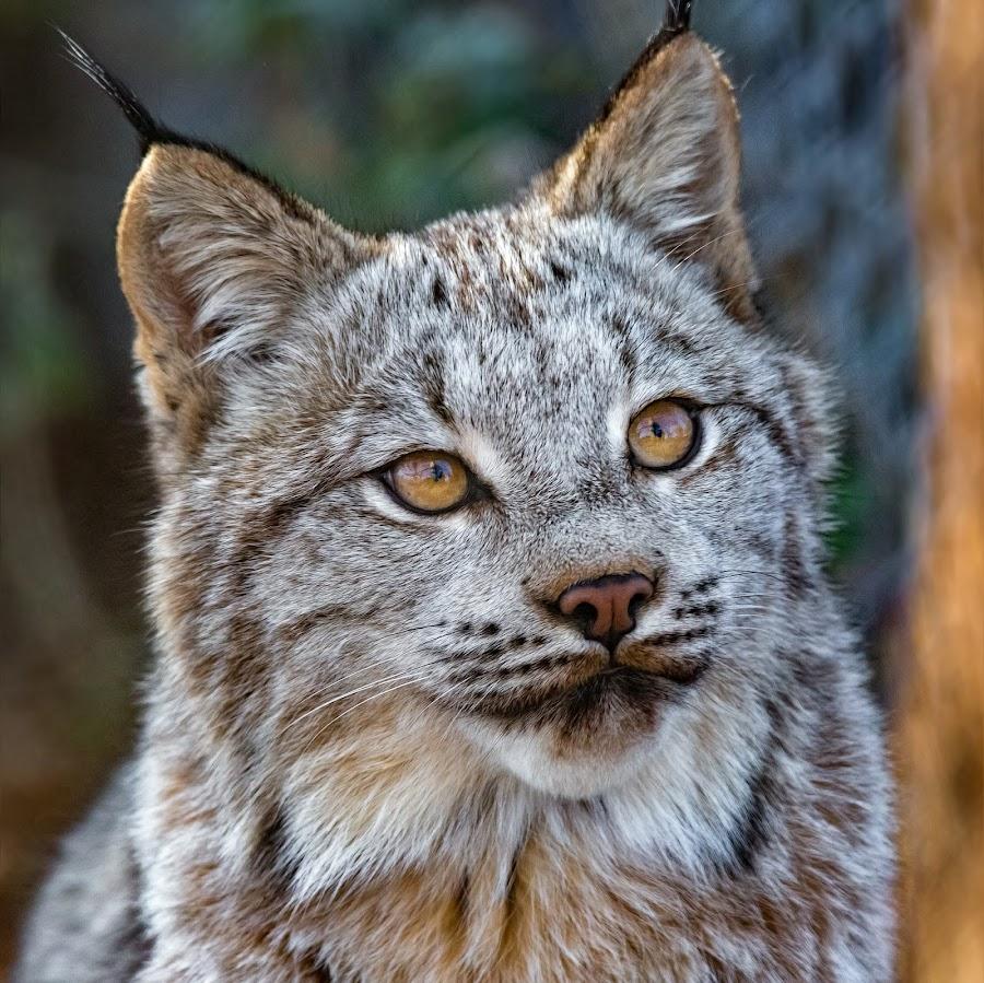 Lynx by Dave Lipchen - Animals Lions, Tigers & Big Cats ( lynx )