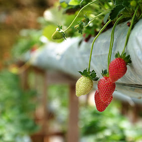 Strawberries by Adrian Choo - Nature Up Close Gardens & Produce ( d7000, nikon, flowers, strawberry, garden )