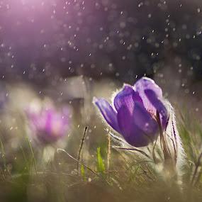 Stormy evening by Jiri Cetkovsky - Flowers Flowers in the Wild ( velkokvětý, grandis, dark., pulsatilla, storm, flověr, koniklec, rain )