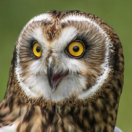 Owl by Garry Chisholm - Animals Birds ( raptor, owl, bird of prey, nature, garry chisholm )