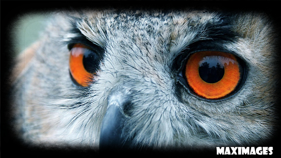 Owl Eye Wallpaper - screenshot