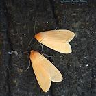 Pareuchaetes Moth