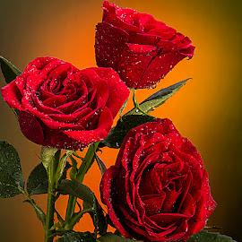 by Rakesh Syal - Flowers Flower Arangements (  )