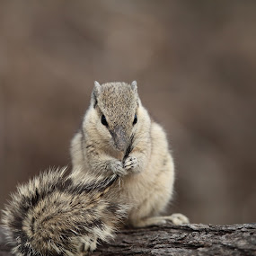 Five-striped Palm Squirrel by Vinchel Budihardjo - Animals Other Mammals
