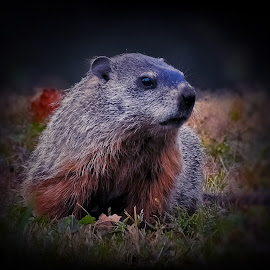 Groundhog day by Sue Delia - Animals Other ( silver coat, groundhog, adolescent, autumn, rodent )