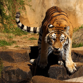 DAT TAIL   by Abbey Gatto - Animals Lions, Tigers & Big Cats
