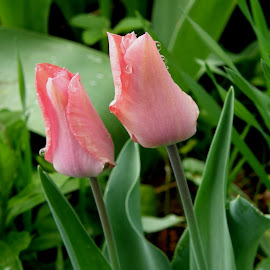 Peachy Tulips by Rita Goebert - Flowers Flower Buds ( spring flowers; tulips; peach colored flowers; dew on flowers; )