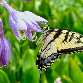 by Joe Fazio - Animals Insects & Spiders ( hosta, bloom, nature, butterfly, garden, flower )