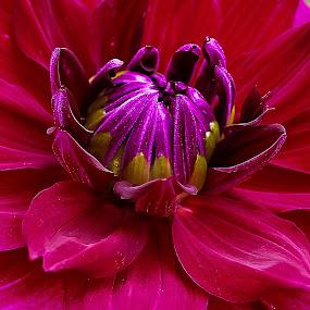 Dahila by Jim Jones - Flowers Single Flower ( canby dahlia farm, dahila, dahlia's, flowers, close up )