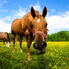 Horsin' Around by Justin Orr - Animals Horses ( wildflowers, pasture, animals, sky, horses, wide angle, green, graze, horse, flowers )