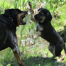 dogs playing by Kristal Clark - Animals - Dogs Playing ( playing, animals, dogs, nature, photography,  )
