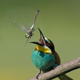 D:\01 GALERIJA FOTO\01 ptice\Čebelar - Rumenogrli čebelar - Merops apiaster\pixoto 2015\Merops-apiaster-228.jpg