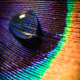Water droplet on a Peacock feather by Kevin Warrilow - Artistic Objects Still Life ( water, macro, feather, peacock, droplets )