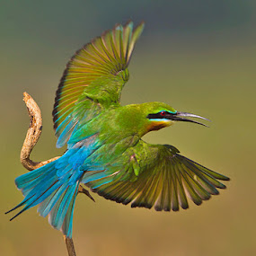 BLUE-TAILED BEE-EATER.. . by Mohan Munivenkatappa - Animals Birds