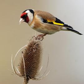 Goldfinch by Bob Rawlinson - Animals Birds ( marton hide )