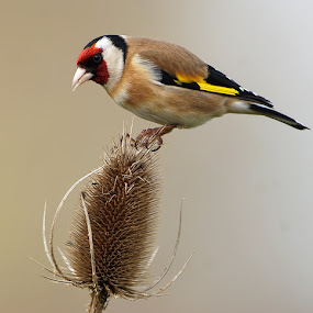 Goldfinch by Bob Rawlinson - Animals Birds ( marton hide )