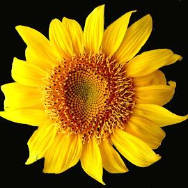 SUN FLOWER by SANGEETA MENA  - Flowers Flowers in the Wild