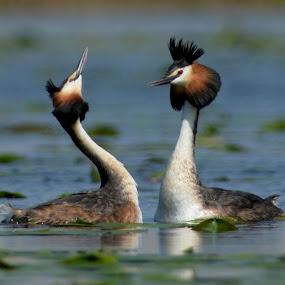 Wedding by Dalia Račkauskaitė - Animals Birds ( podiceps cristatus, great crested grebe )