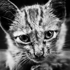 Kitten by Soumyaroop  Chatterjee  - Animals Other Mammals ( contrast, cat, b&w, kolkata, shadow, street, light, canon 550d,  )