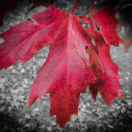 Red Maple by Richard Michael Lingo - Nature Up Close Trees & Bushes ( park, tree, flora, red maple, maple,  )