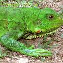 Green Iguana, Common Iguana, American Iguana
