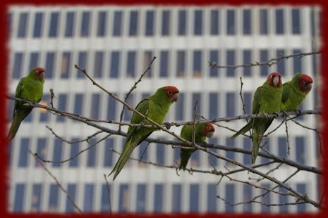Lovebird Parrots wallpapers - screenshot
